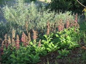 hummingbird sage and purple sage